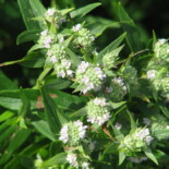 Narrow-Leaved Mountain Mint by peganum