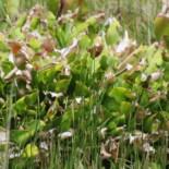 Purple Pitcherplant by Sukkoria