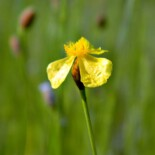 Bog Yellow-Eyed Grass by Bob Peterson